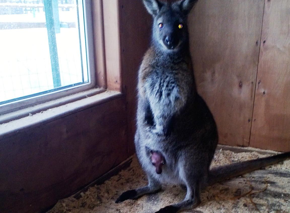 Ярославцы  смогут познакомиться с новорожденным  кенгуру.