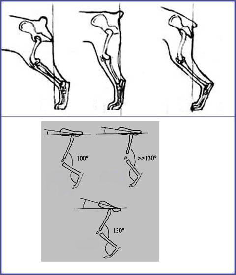 Раздел о собаках - Анатомия собак - Скелет собаки